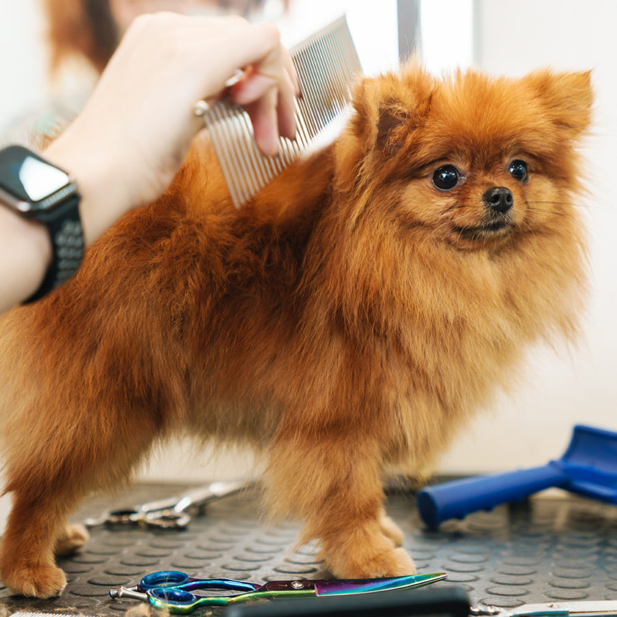 Image of female pet hairdresser grooming small pomeranian spitz in dog salon using professional equipment